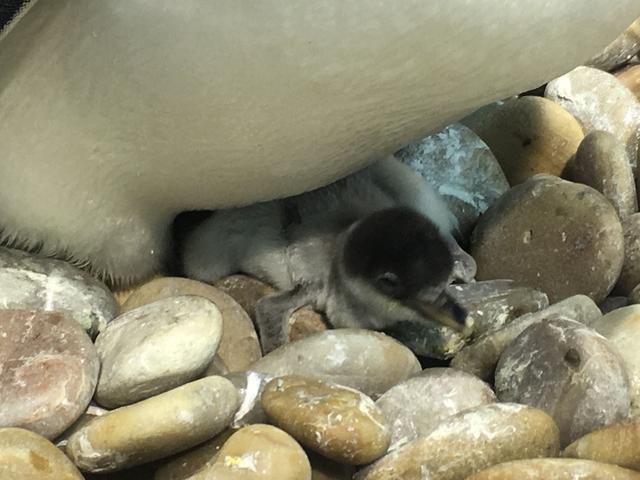 """大连圣亚迎来企鹅""""破壳潮"""",新生小企鹅萌翻了!双十一门票半价抢"""