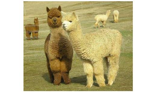 [大辽哥说]本溪一家三口组团偷!羊!驼!