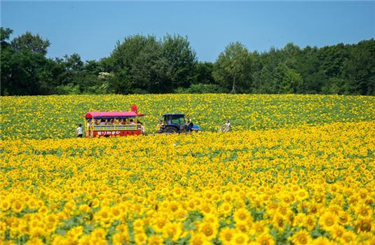 """在北龙町的""""向日葵之乡""""亲身感受北海道的夏日吧"""