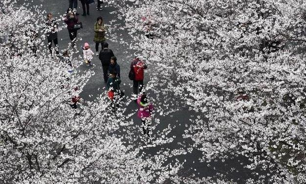樱花开 迎客来