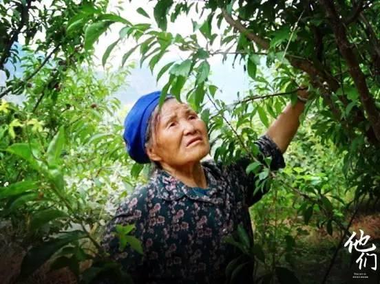 他们:九寨沟天灾过后 76岁奶奶只盼卖出脆红李养活一家