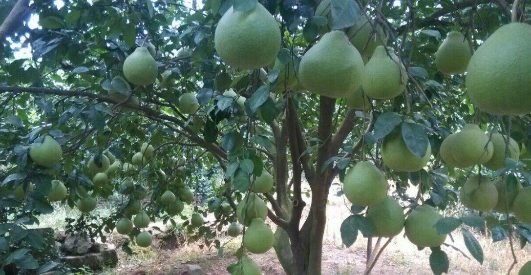 玉林市将举办容县沙田柚旅游文化节
