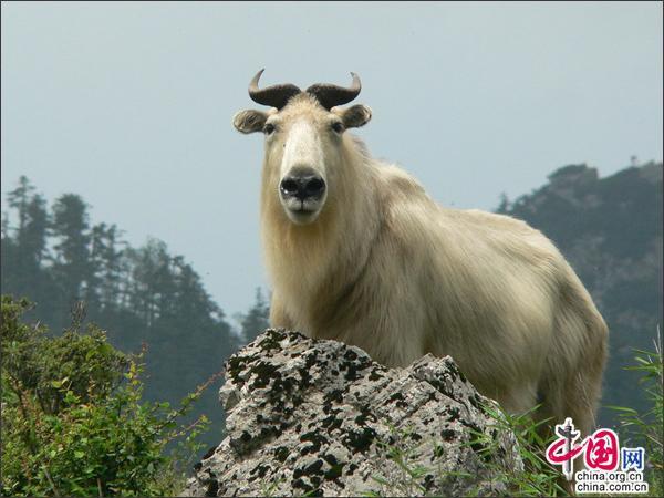 达古冰山生态良好 引国家一级保护动物羚牛下山