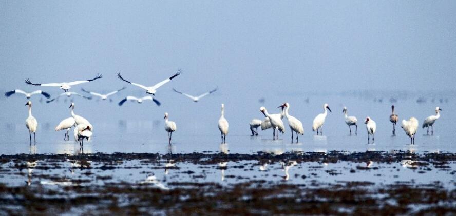 10万候鸟飞抵鄱阳湖
