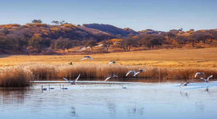 这是中国最美天鹅湖,有人竟然投毒毒杀290只天鹅,令人发指