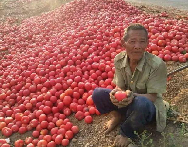 【他们】高原西红柿滞销严重就要烂在地里,攀枝花米易向全国告急