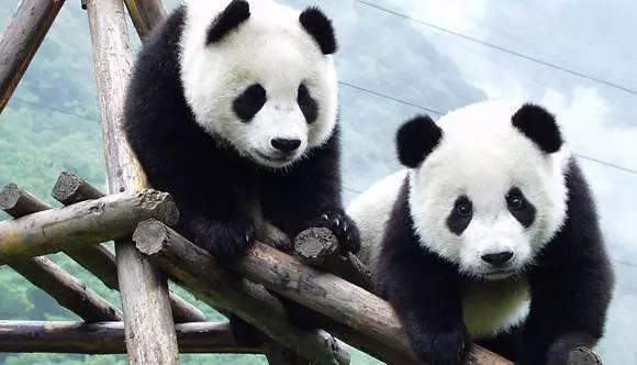成都将打造全球首个大熊猫互动体验式博物馆