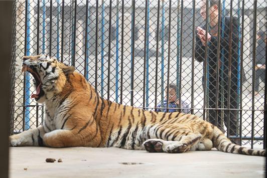 游客无视电网近距离观虎 动物园:碰不到电网