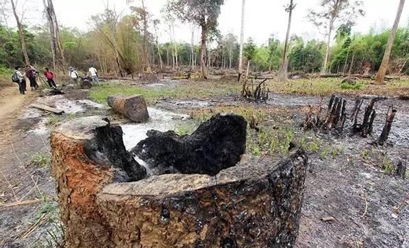 红木之殇:别让柬埔寨森林成为下一个藏羚羊