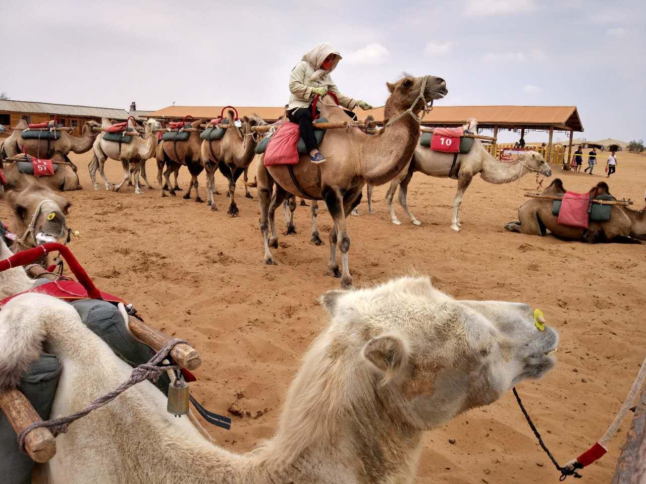 沙漠景区骆驼等待的命运:上苍安排的有点苦
