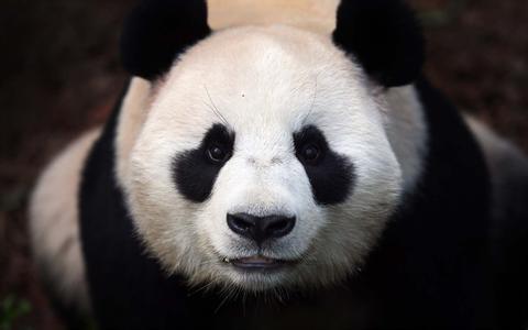 大熊猫在美国:啃坏的塑料筐都被当文物展出