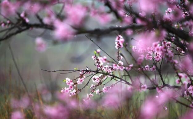 三月踏春,一年一度的恭城桃花节如期而至