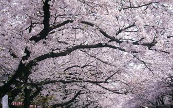 不用去日本,国内这几个地方看樱花最美