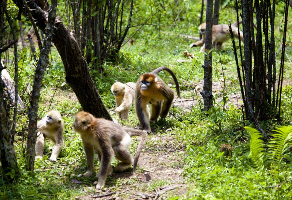 活泼有趣珍稀高贵的神农架金丝猴
