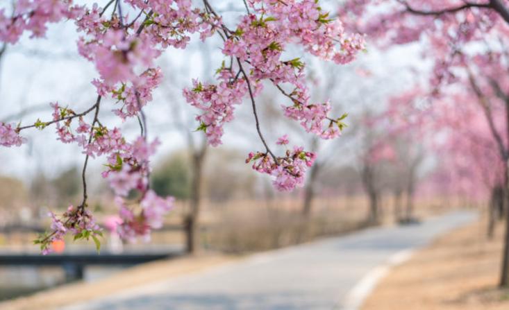 上海两大赏樱胜地,顾村公园和辰山植物园你会选