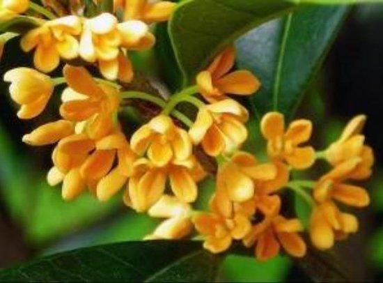 【景瑞御府】秋天有一半,是属于桂花的。