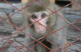 组图:猴子震后无处觅食 投奔板房区居民