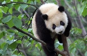 高清组图:雅安熊猫基地里的淘气宝宝