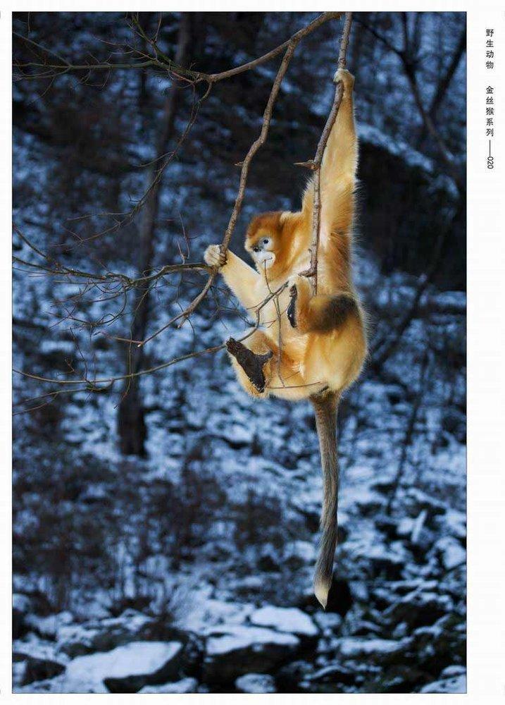 野生动物金丝猴系列—孙晋强 (图1); 孙晋强; 中国摄影家协会网