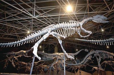 在云南恐龙谷展出.本版图片本报记者张沫摄-我国最大最早恐龙化石
