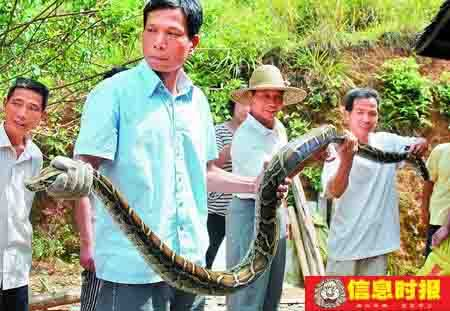 小蟒蛇被抓五天后大蛇找上门 - 大森林 - 大森林理财