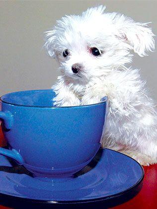 """网9月5日电 可爱的""""斯库特""""再也无法正式得到""""世界最小狗狗""""的"""