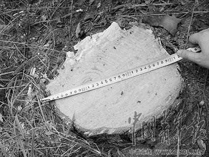 万州盗伐林木现场目击