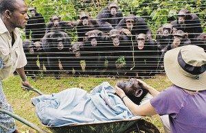 动物亦有亲情——非洲黑猩猩手拉手目送病逝同伴被带走安葬