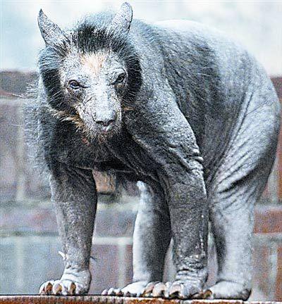 动物园母熊患怪病集体脱光毛(图)