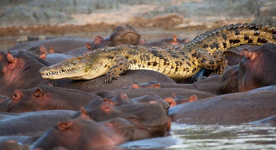 鳄鱼混入河马群 图片来源:中国新闻网