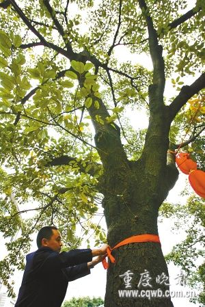 重庆为百年古树买保险 20棵树投保400万(图)