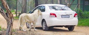 动物园非洲狮打开轿车车门险拖出乘客(组图)