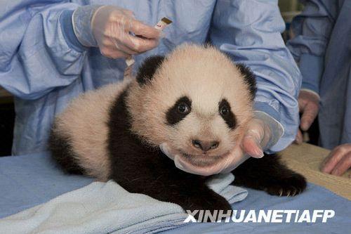 """美圣迭戈动物园新生大熊猫取名""""云子"""""""