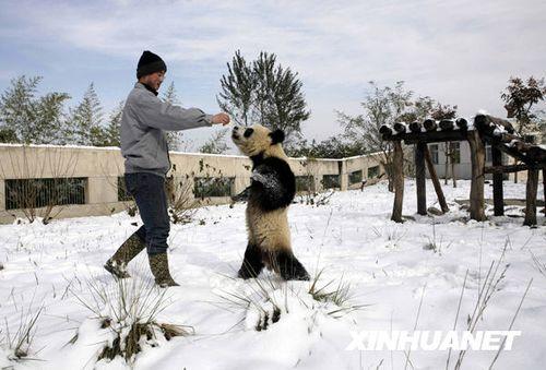 图文:饲养员在雪地里训练圈养大熊猫直立行走