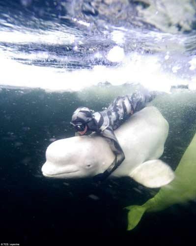 潜水爱好者北极海水浮冰下与白鲸共舞(组图)