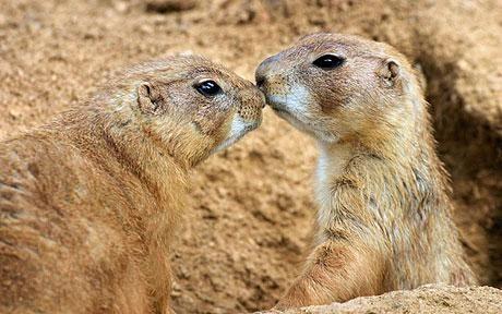 """土拨鼠在动物世界最""""健谈"""" 语言仅次于人"""