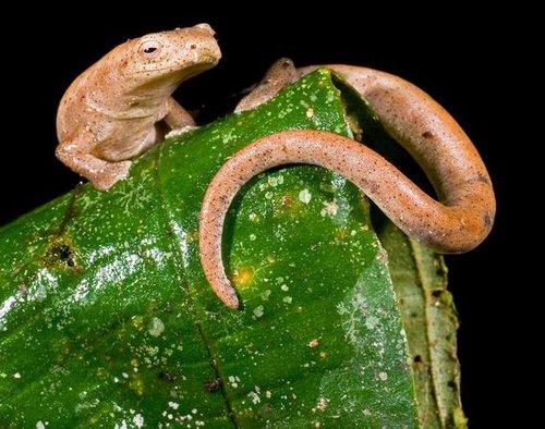 厄瓜多尔丛林发现新物种:玻璃蛙身体透明