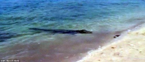 饥饿鳄鱼欲抢走鲨鱼与游客展开拉锯战
