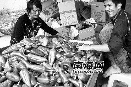政府紧急化解 琼海辣农一天接到百万吨订单