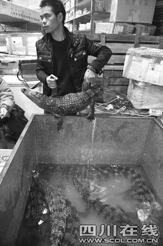 商家出售人工养殖鳄鱼供市民食用(组图)