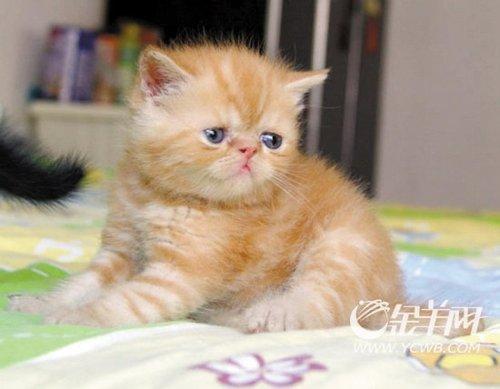 异国短毛猫加菲猫