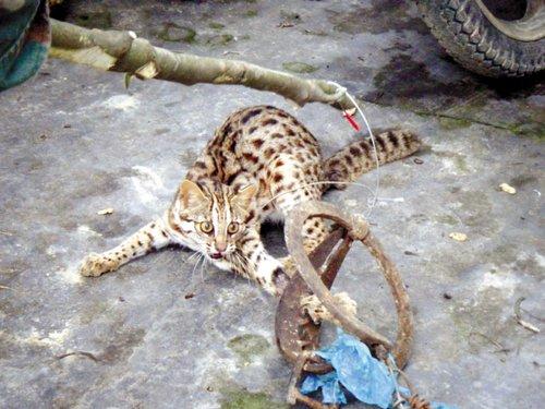 村民捕猎豹猫高价卖给餐馆