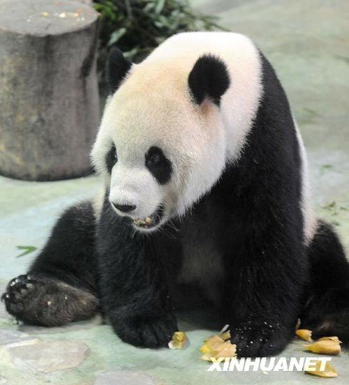 台北动物园大熊猫圆圆发情 团团不来电(图)