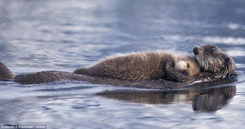 最温馨场面:水獭宝宝在妈妈怀中酣睡过河 - zhangxiaosqwj - 我的博客