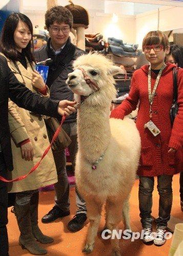 图文:网络神兽羊驼现身上海成宠物明星
