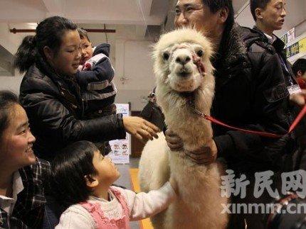 """中国网民热捧之""""神兽""""羊驼今上海亮相"""