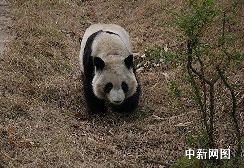 手工制作熊猫杂粮图片