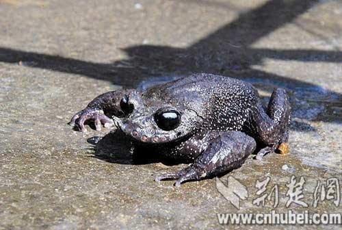 湖北恩施发现世界级珍稀动物胡子蛙(图)