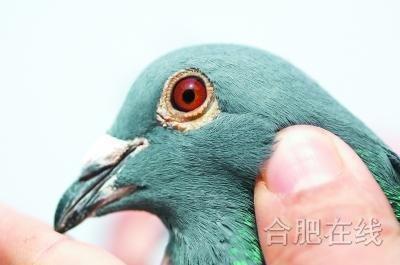 不抽烟不打牌 偏对信鸽着了迷