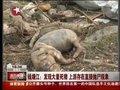 视频:钱塘江发现大量死猪 上游存在抛尸现象
